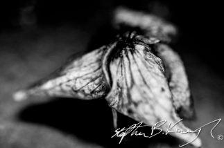 A dead orchid. Leinster Road, Rathmines, Dublin. 10th February 2014