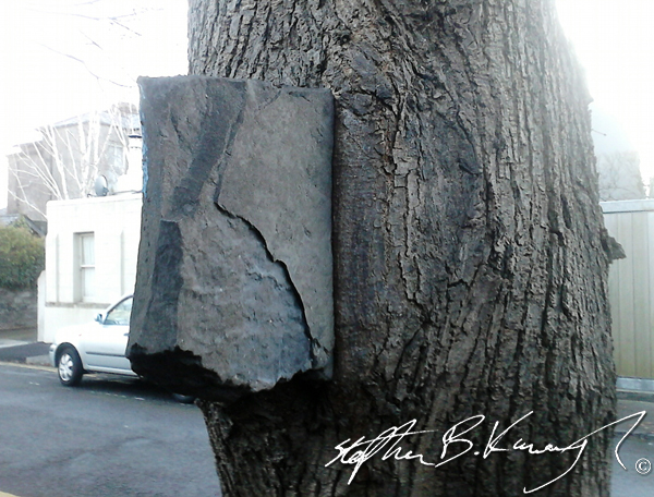 A stone that has been grown around by a tree and is now fixed there permanently. Rathmines, Dublin. 20th March 2014