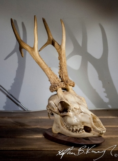 A mounted deer skull in the 3rd Policeman antique shop, Rathmines, Dublin, Ireland. 20th May 2014