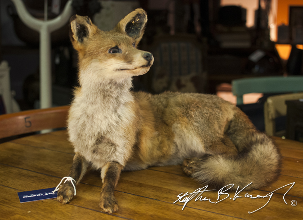 Stuffed fox in The 3rd Policeman - vintage and antique shop. Rathmines, Dublin, Ireland. 15th July 2014