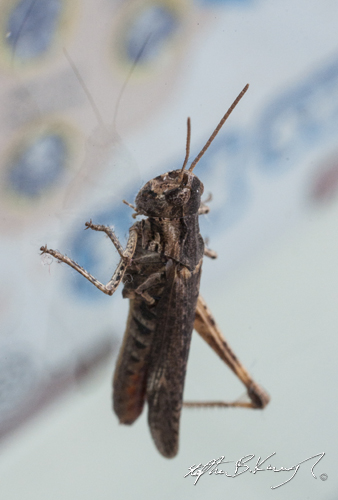 A one-legged grasshopper on the window of the Science Gallery, Trinity College, Pearse Street, Dublin, Ireland. 24th July 2014