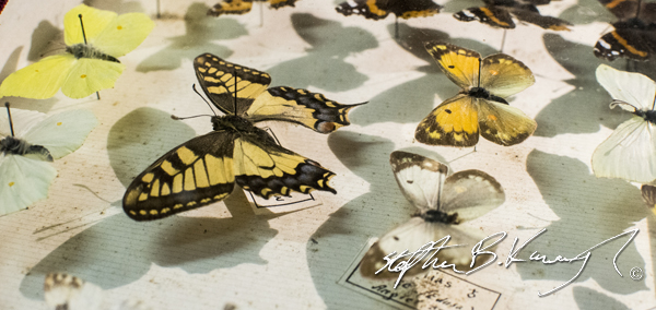 A mounted butterfly collection. The 3rd Policeman, Rathmines, Dublin, Ireland. 13th November 2014