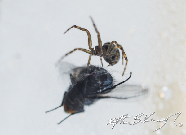 A spider near the window consumes a fly caught in its web. Leinster Road, Rathmines, Dublin, Ireland. 7th October 2014